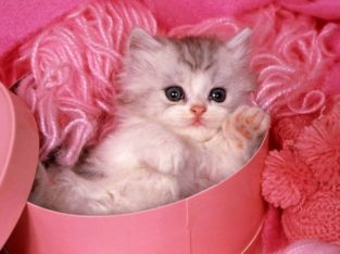 القط الجميل للبيع